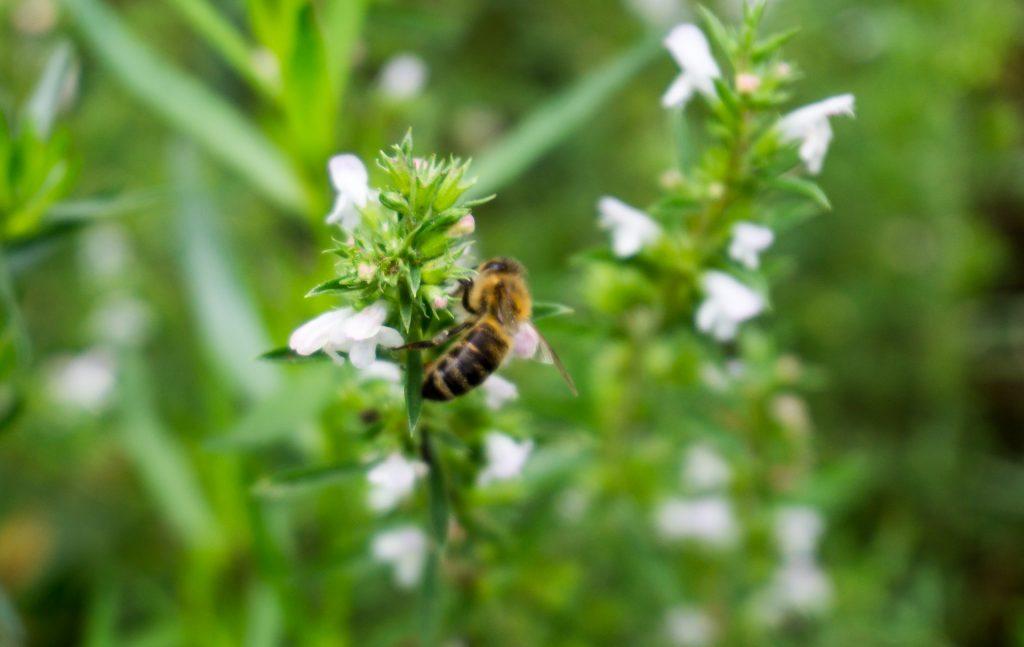 Bohnenkraut mit Biene
