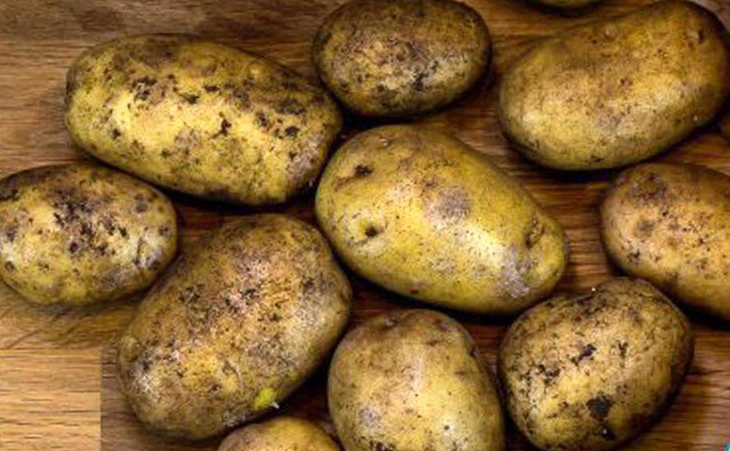 Kartoffeln der Sorte Linda
