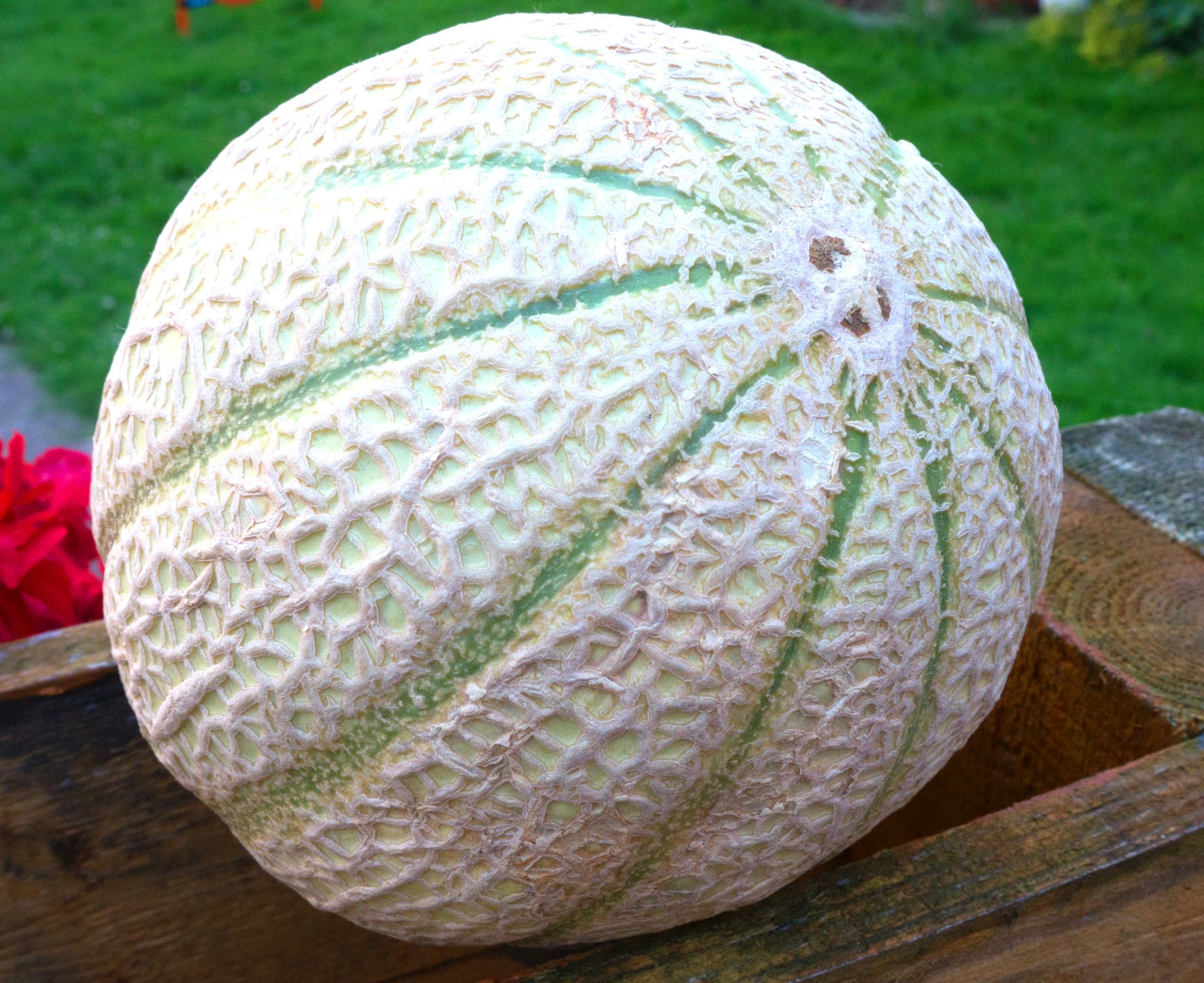 Melone Reif
